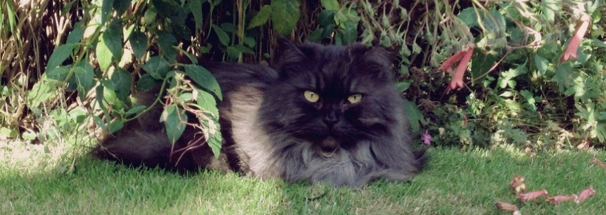 Picture of a grey long haired smoke cat resting under a bush in the garden