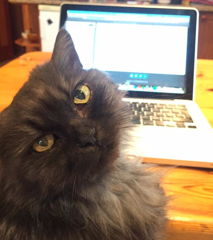 Picture of a grey cat sat in front of a laptop